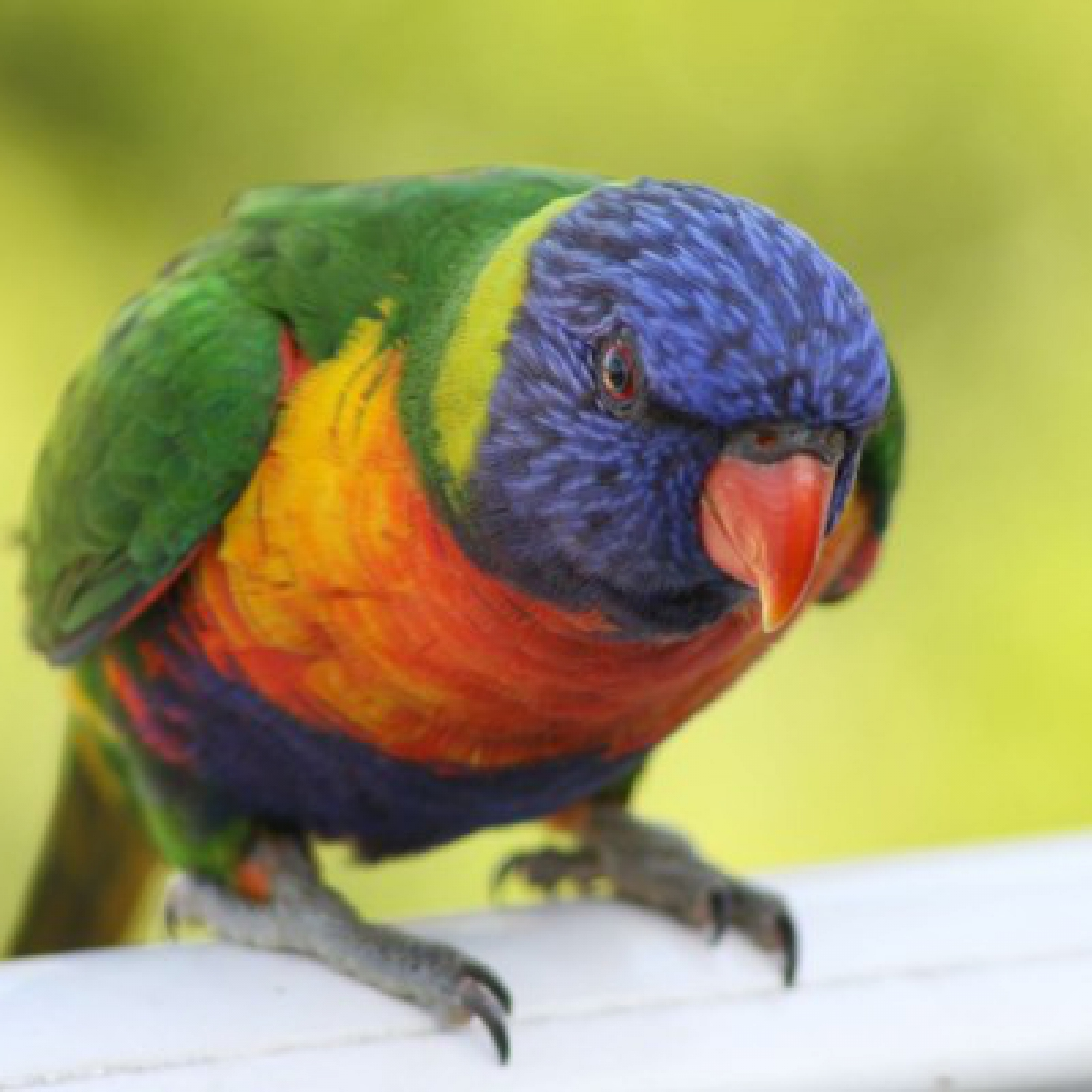 461 Rainbow Lorikeet
