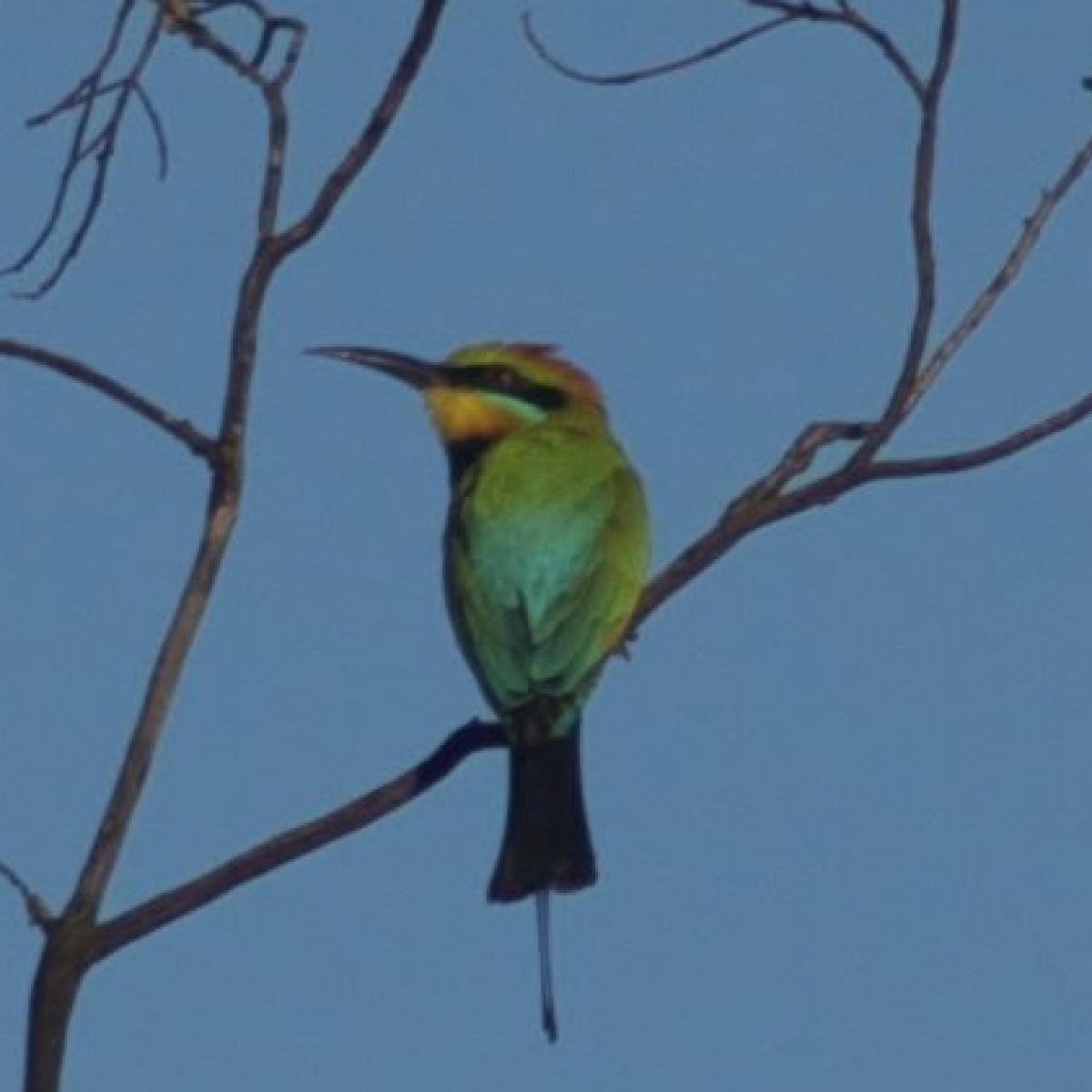 523 Rainbow Bee-eater