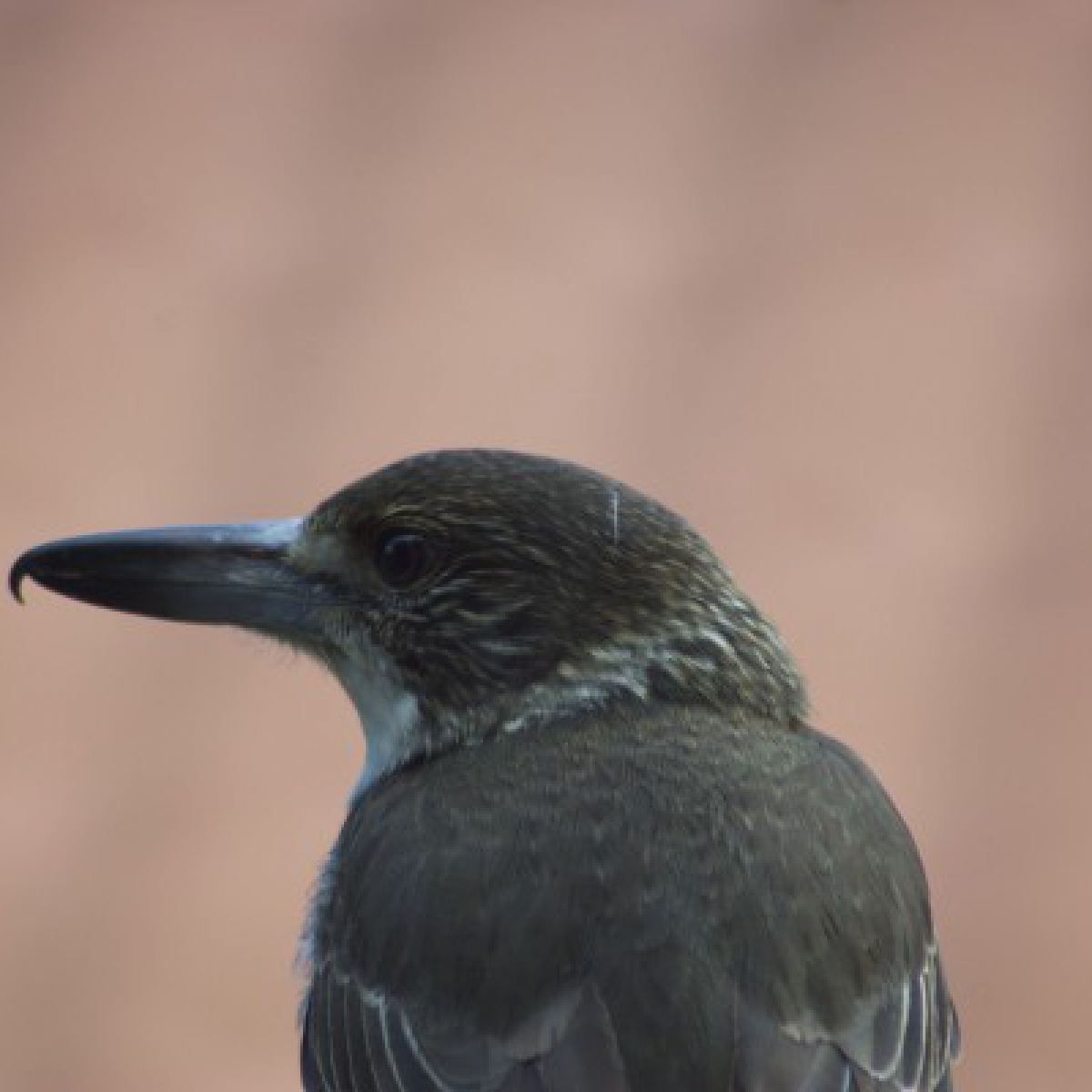 804 Grey Butcherbird