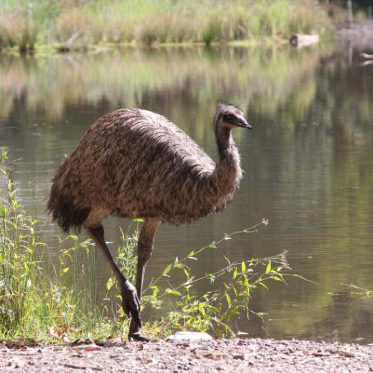 835 Emu