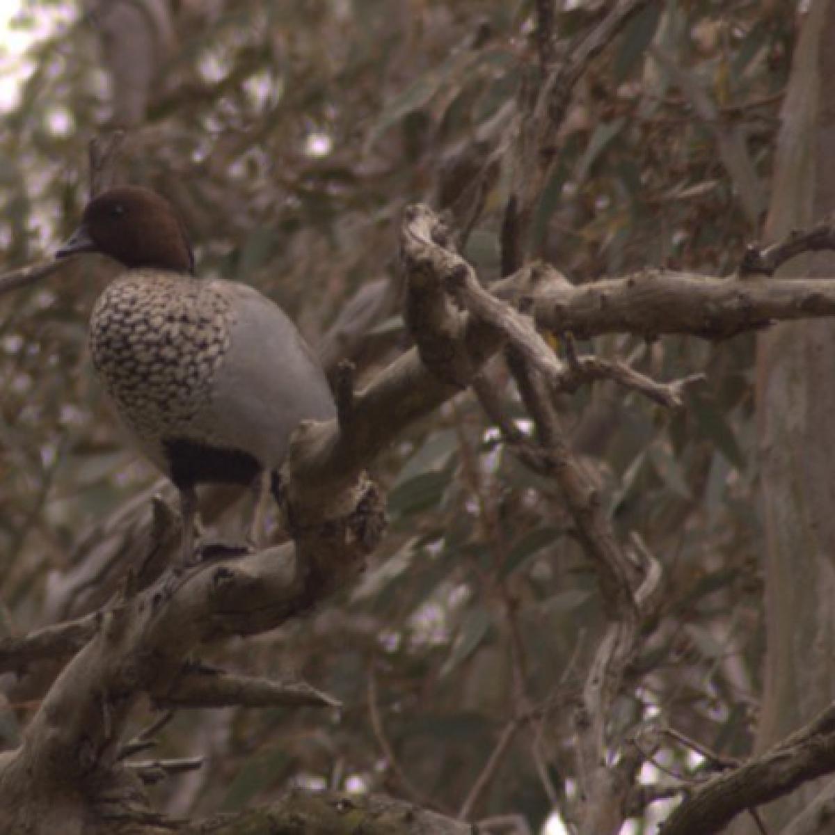 267 Australian Wood Duck