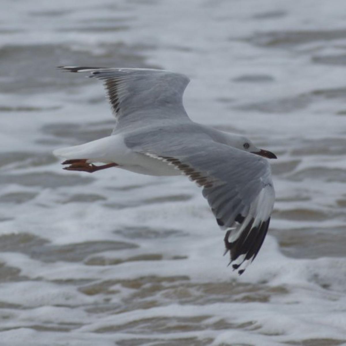 366 Silver Gull
