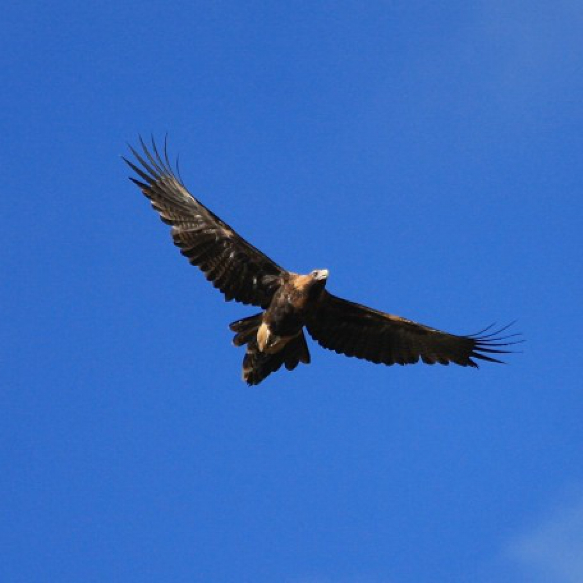 322 Wedge-tailed Eagle