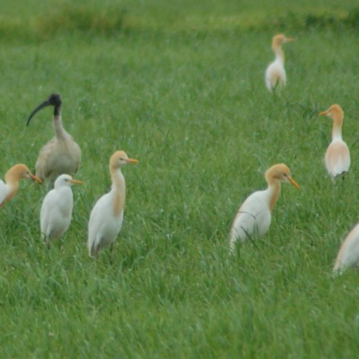 203 Cattle Egret