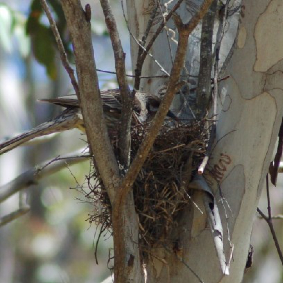 722 Red Wattlebird and nest