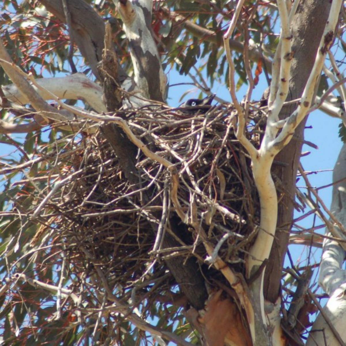 808 Australian Raven on nest