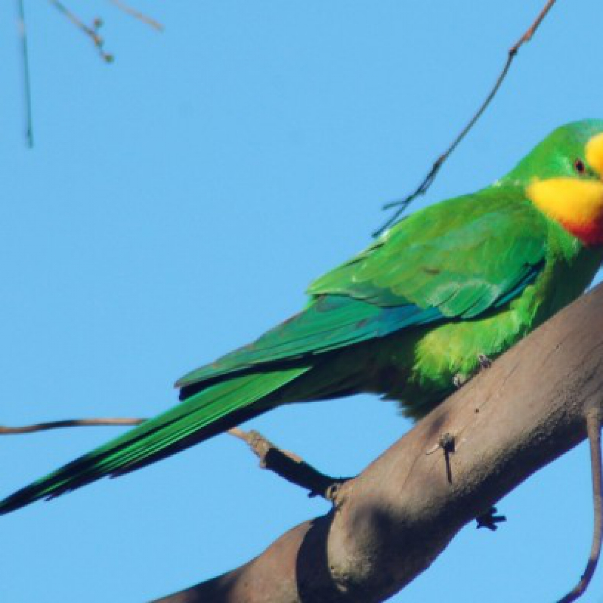 445 Superb Parrot (male)