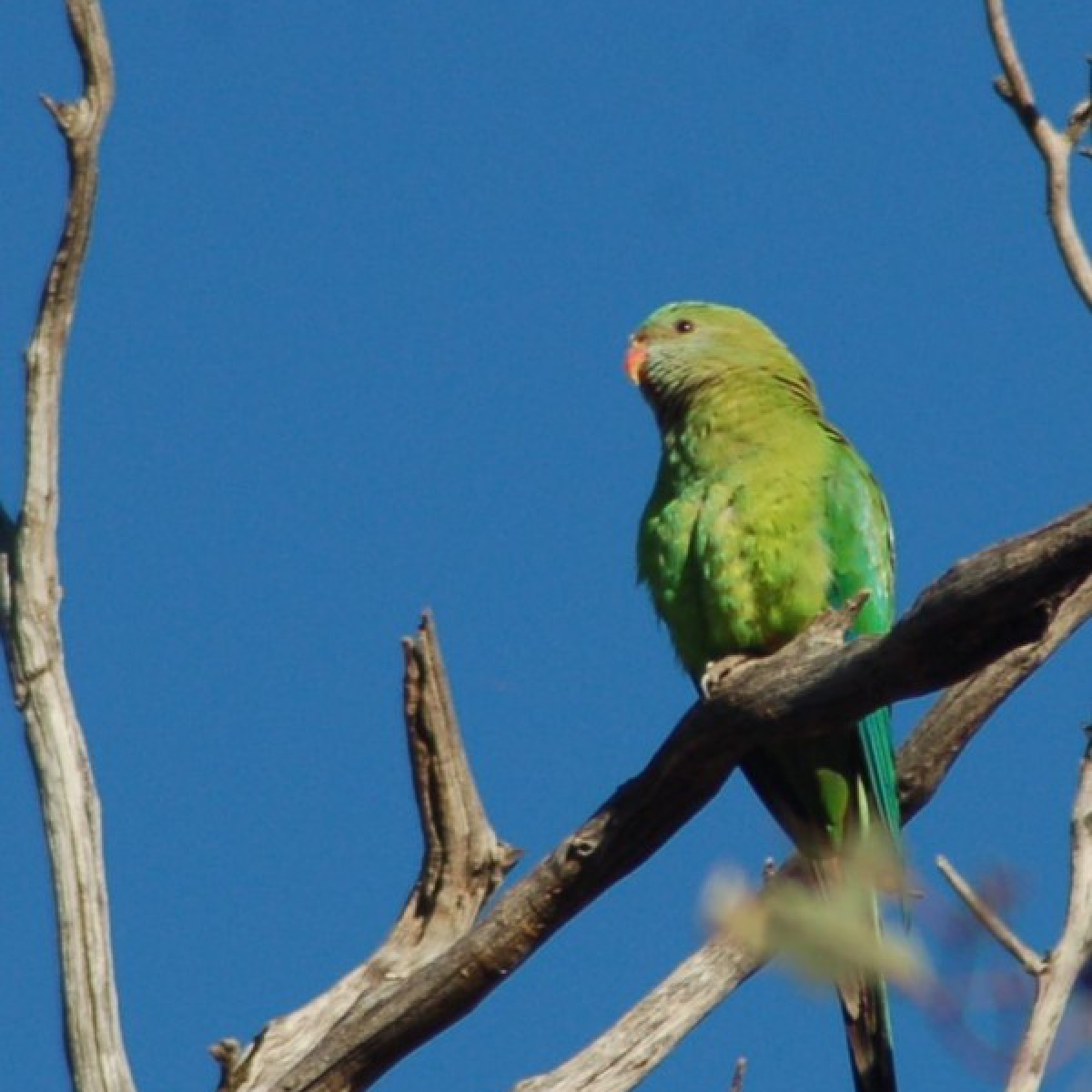 445 Superb Parrot (female)