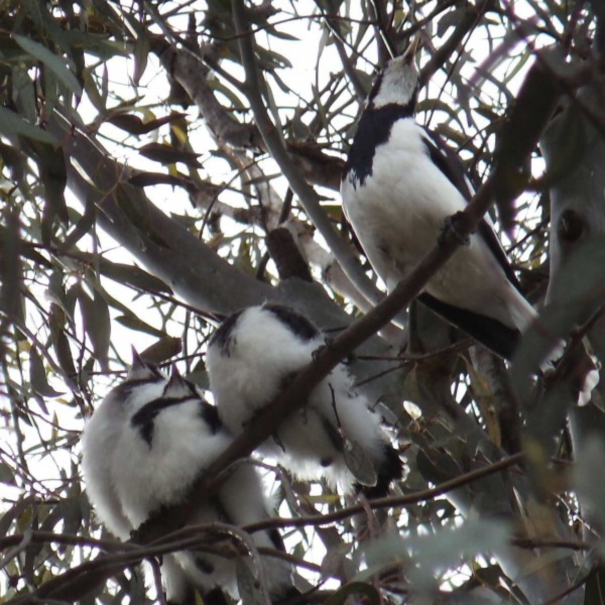 802 Australian Magpie-lark or Peewee with chicks