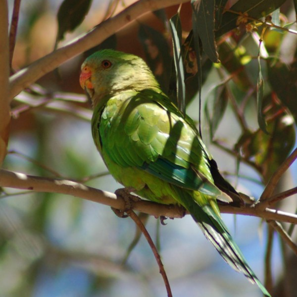 445 Superb Parrot juvenile male