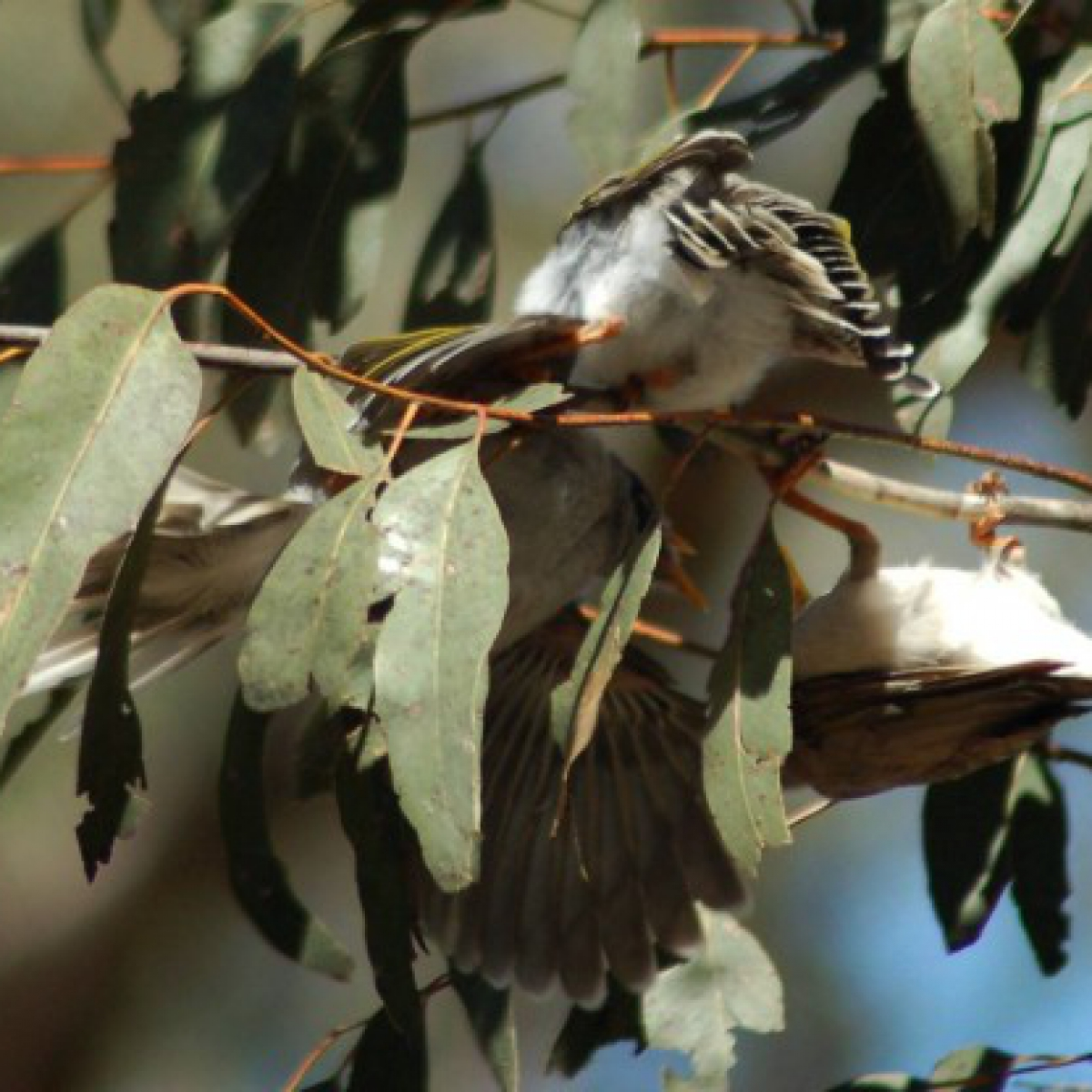 725 Noisy Miner chicks feeding