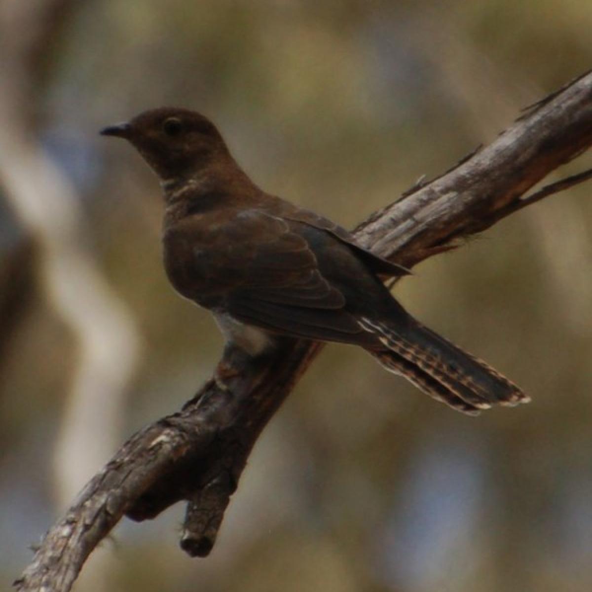 482 Brush Cuckoo