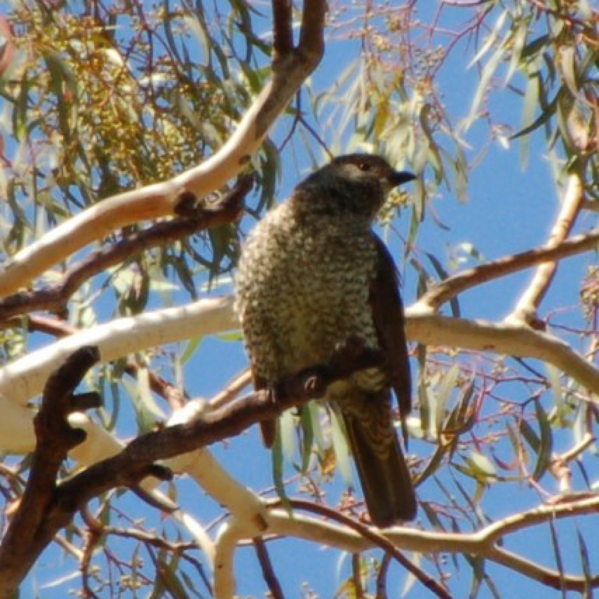 784 Satin Bowerbird (female)