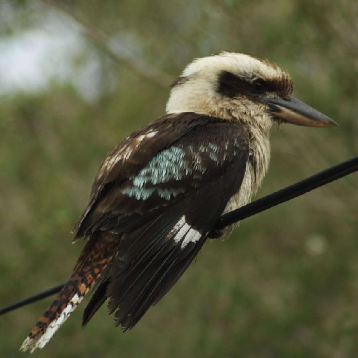 521 Kookaburra