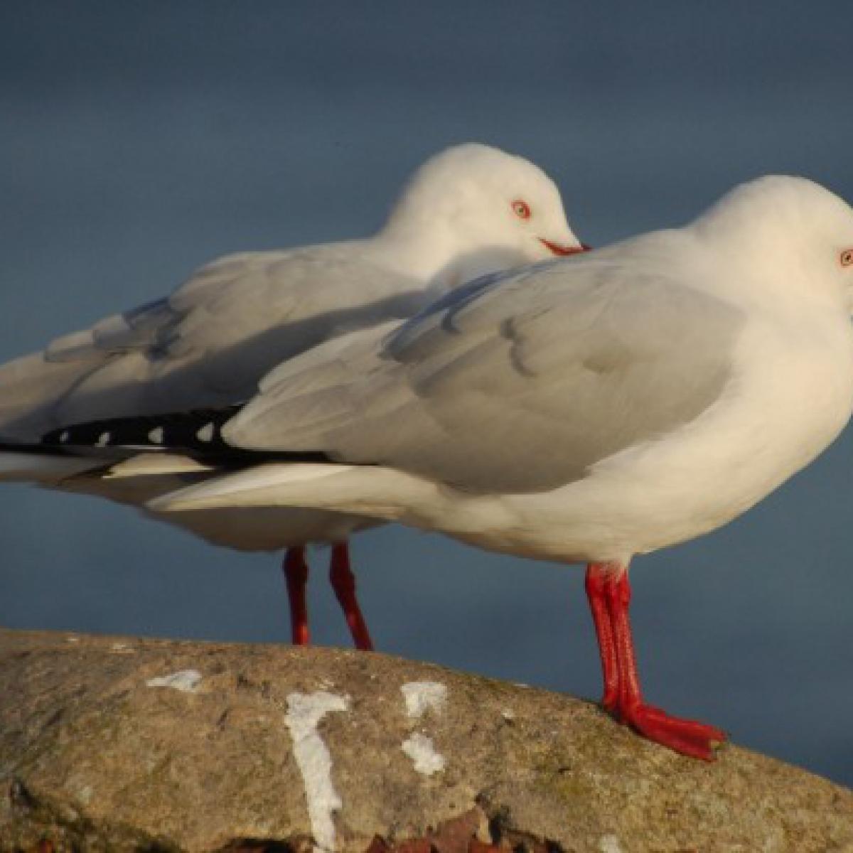 366 Silver Gulls