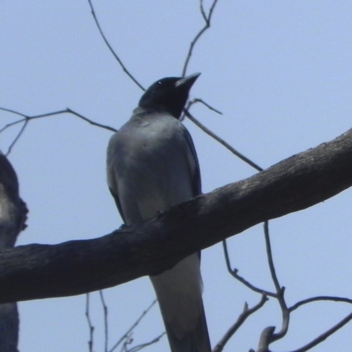 561 Black-faced Cuckoo-shrike (adult)