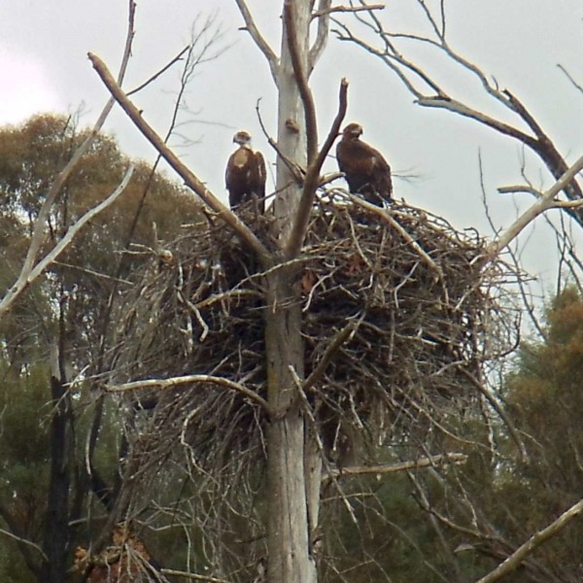 322 Wedge-tailed Eagle chicks