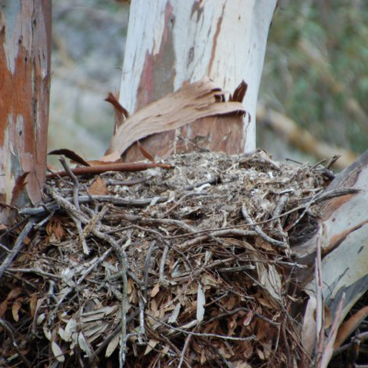 322 Wedge-tailed Eagle - last year's nest