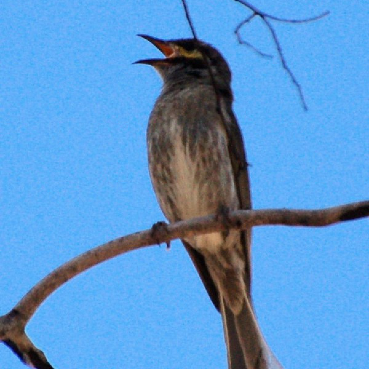 741 Yellow-faced Honeyeater