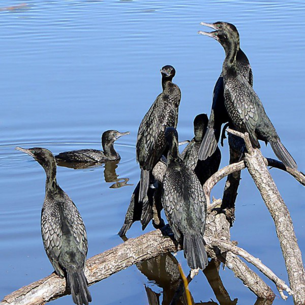 183 Little Black Cormorant