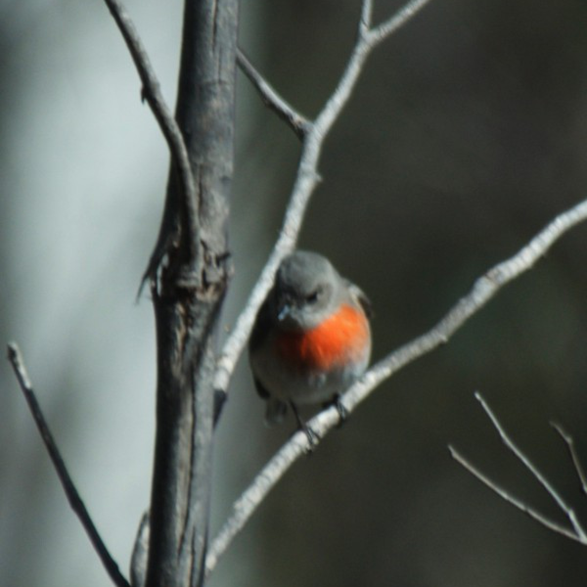584 Scarlet Robin (female)