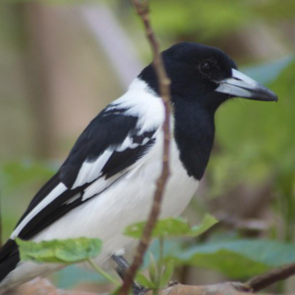 809 Pied Butcherbird