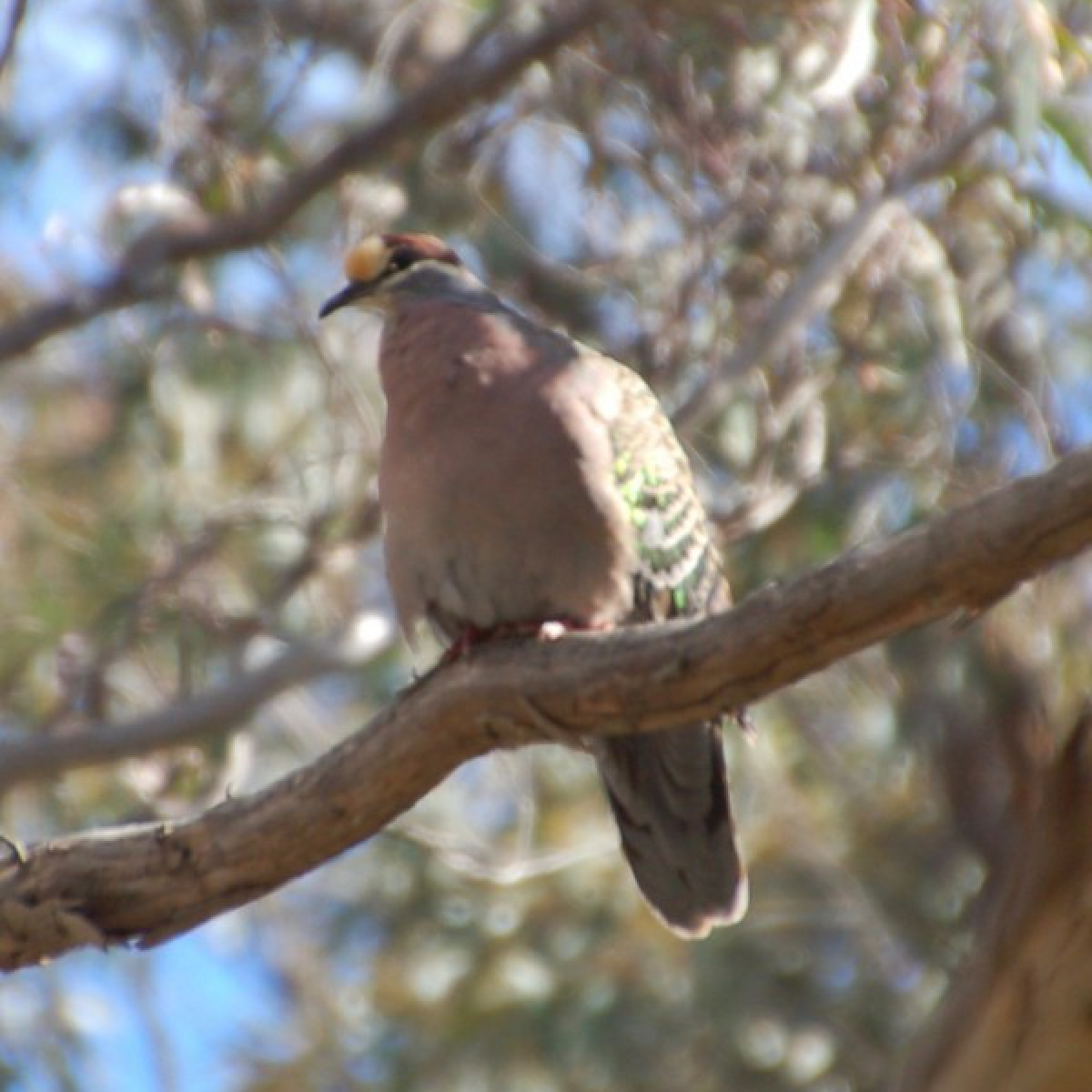 424 Common Bronzewing