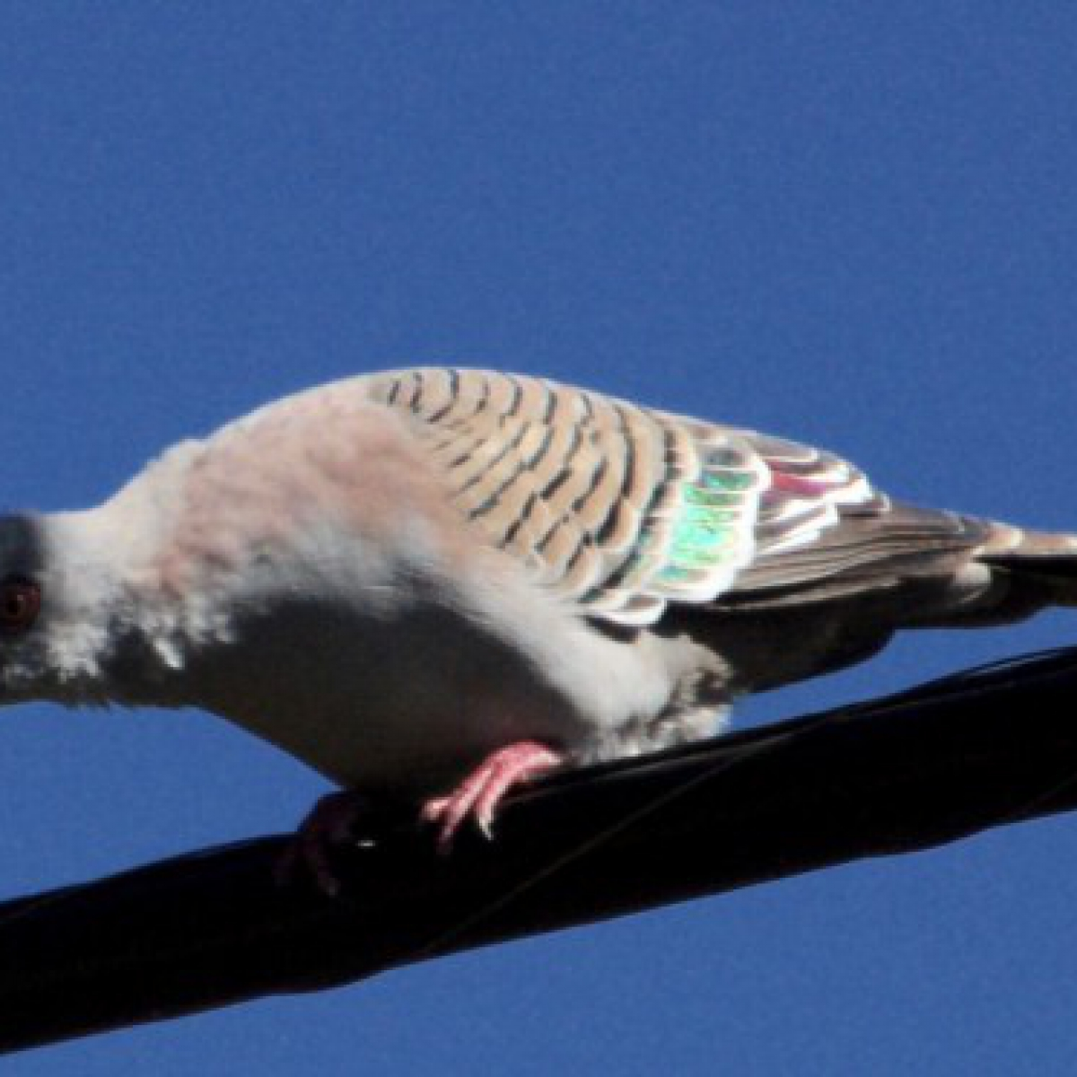 425 Crested Pigeon