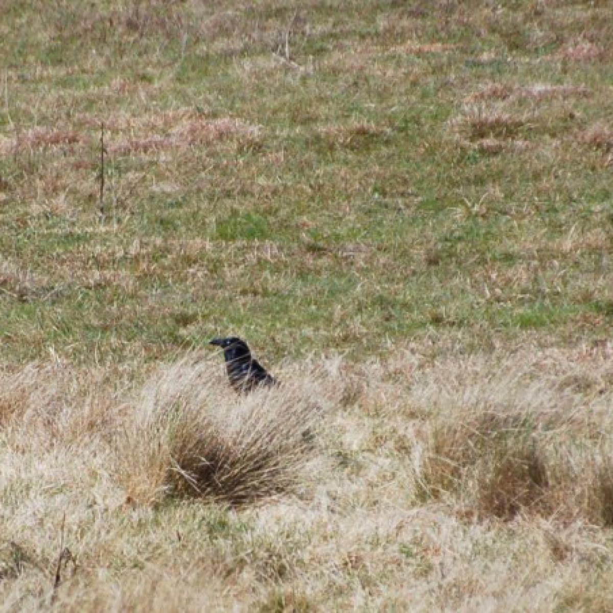 807 Little Raven