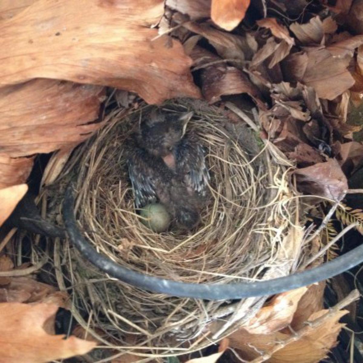 565 Blackbird nestling