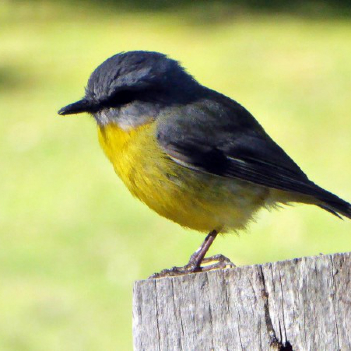 588 Eastern Yellow Robin