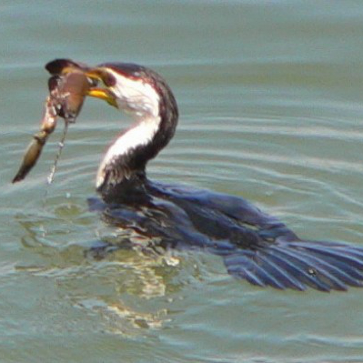 184 Little Pied Cormorant