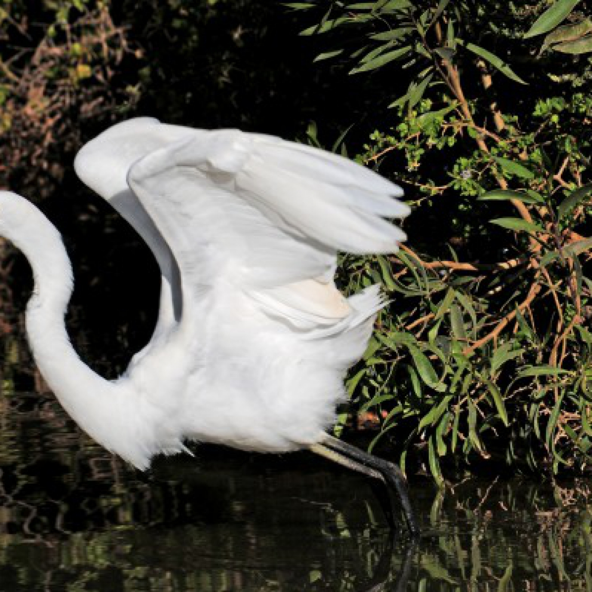 204 Great Egret