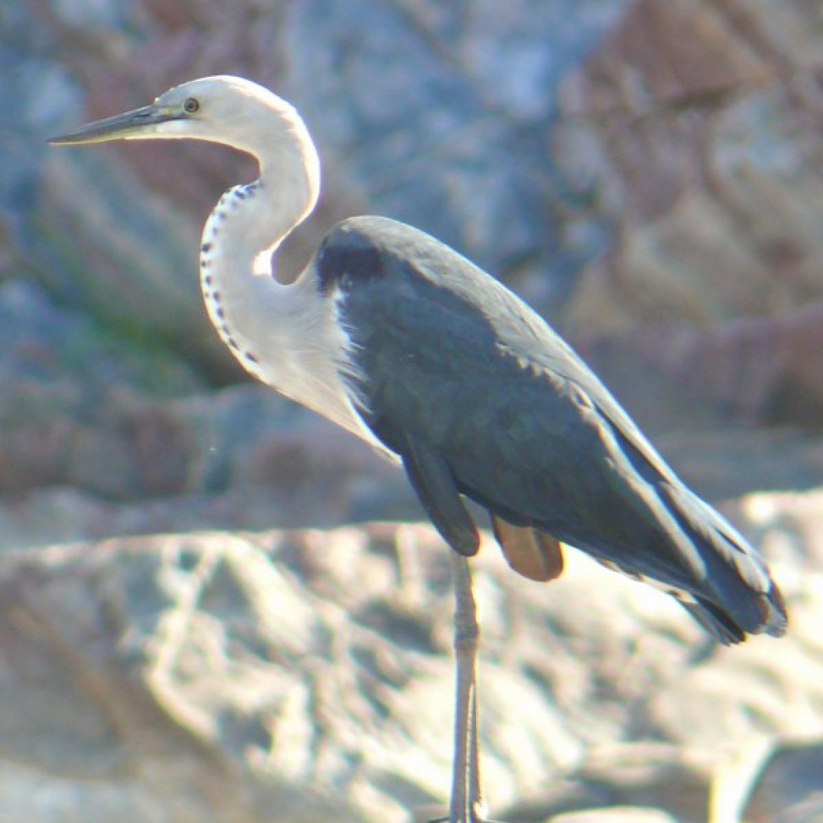 201 White-necked Heron
