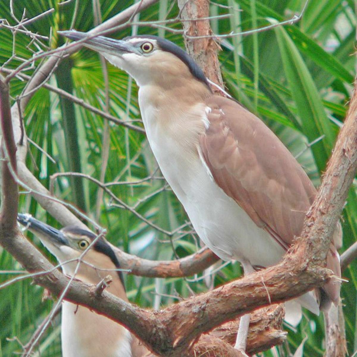 221 Nankeen Heron