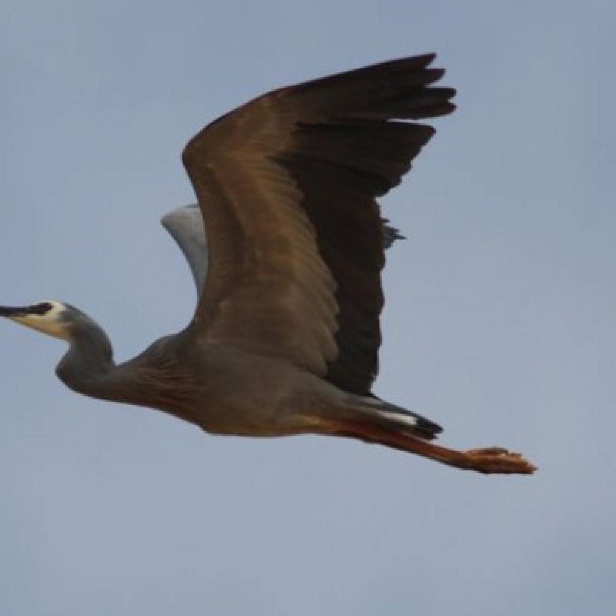 202 White-faced Heron