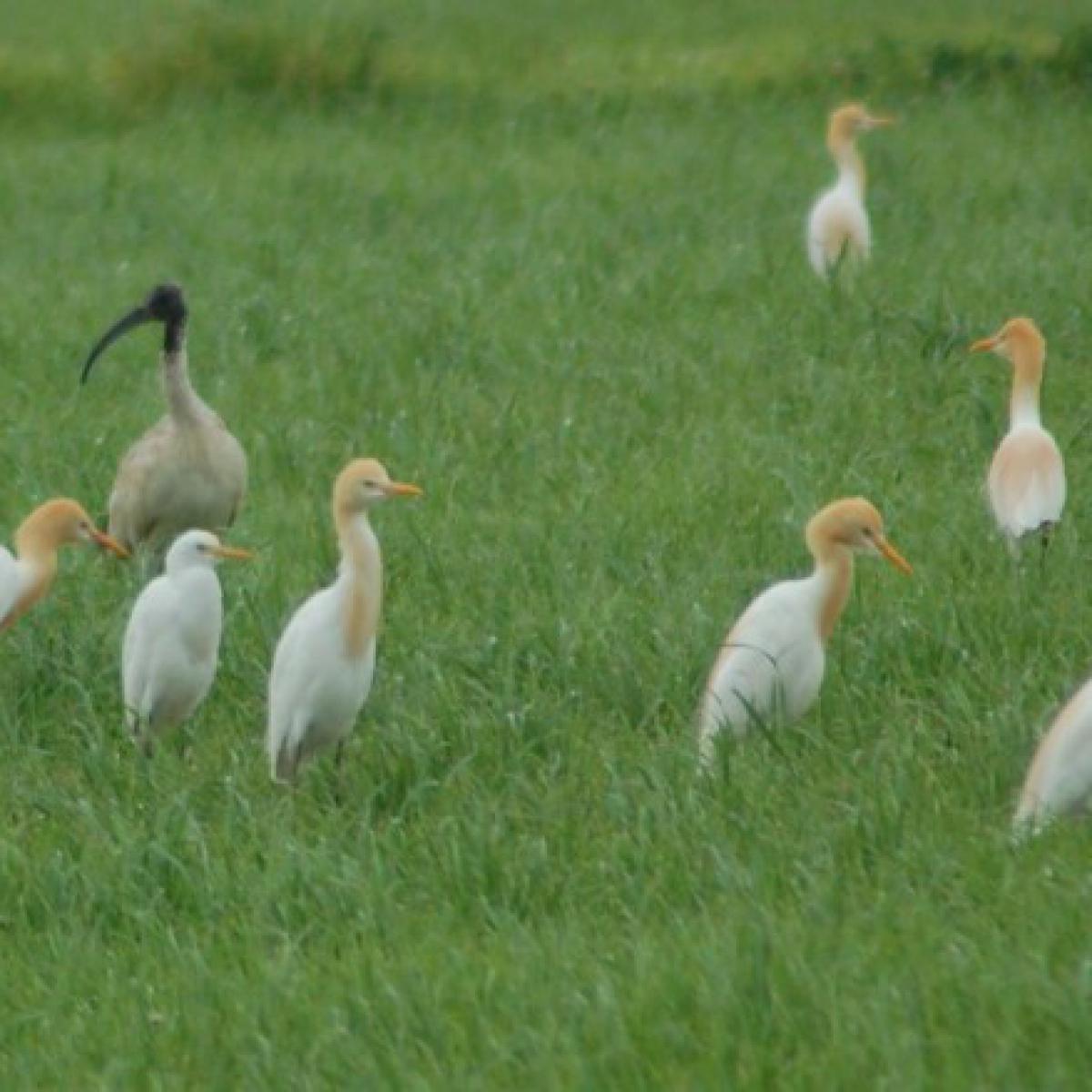 203 Cattle Egret