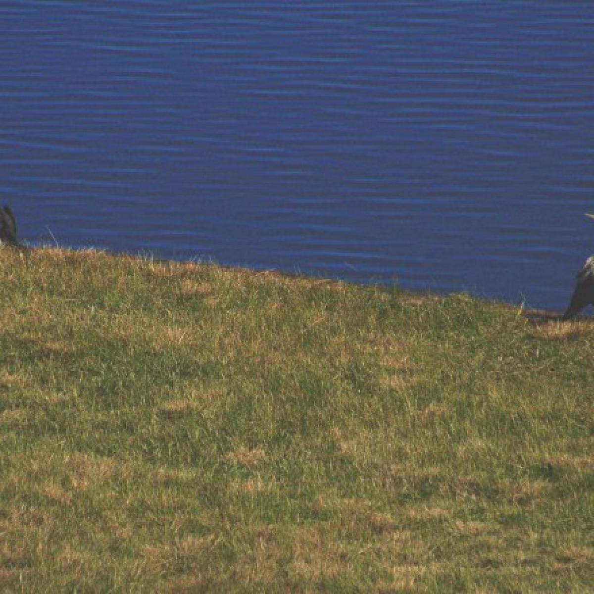 184 Little Pied Cormorant