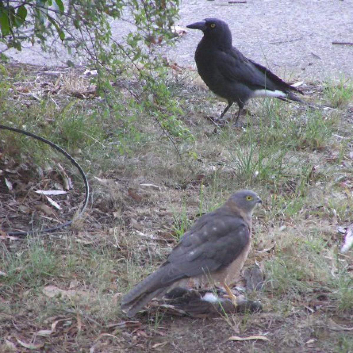 285 Collared Sparrowhawk
