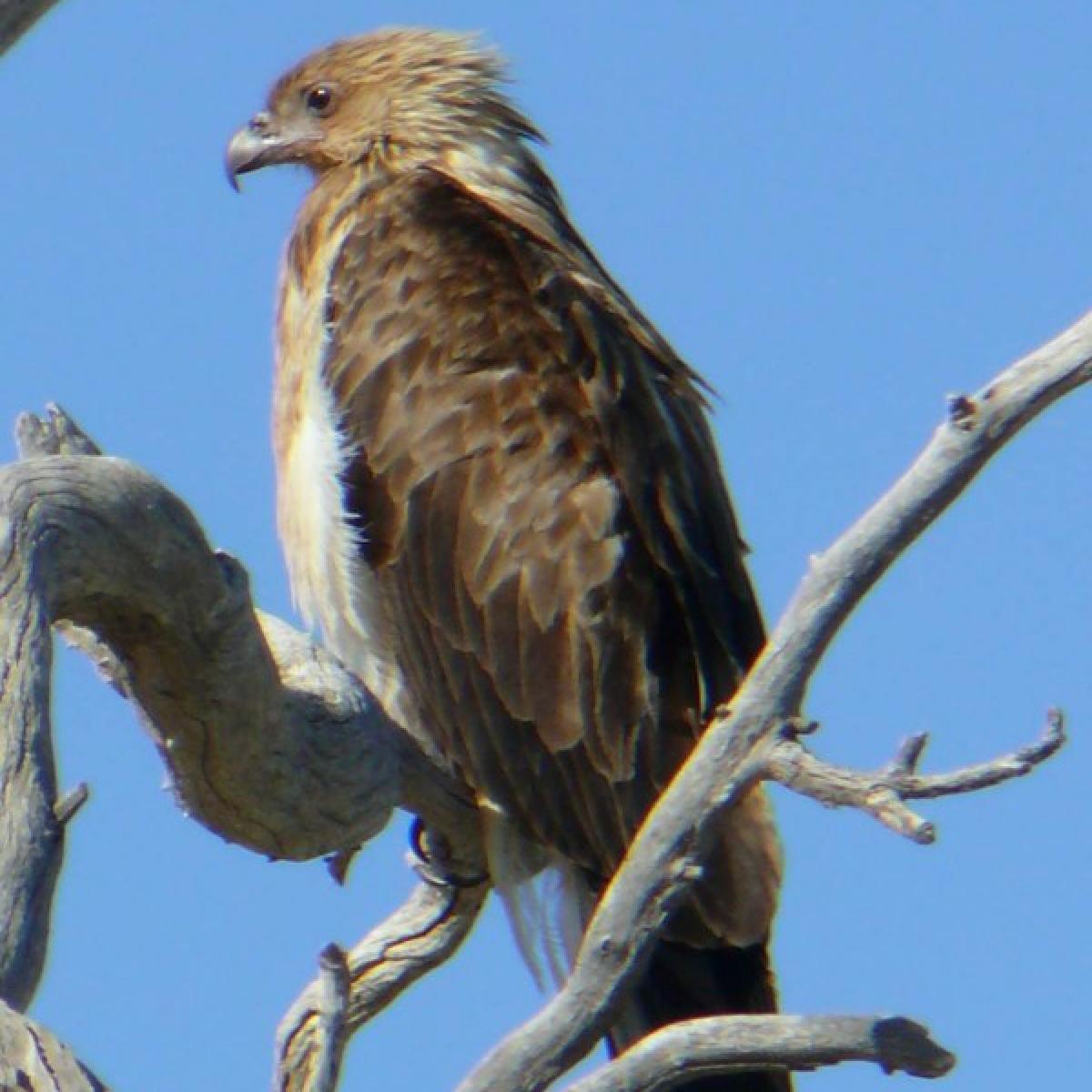 282 Whistling Kite