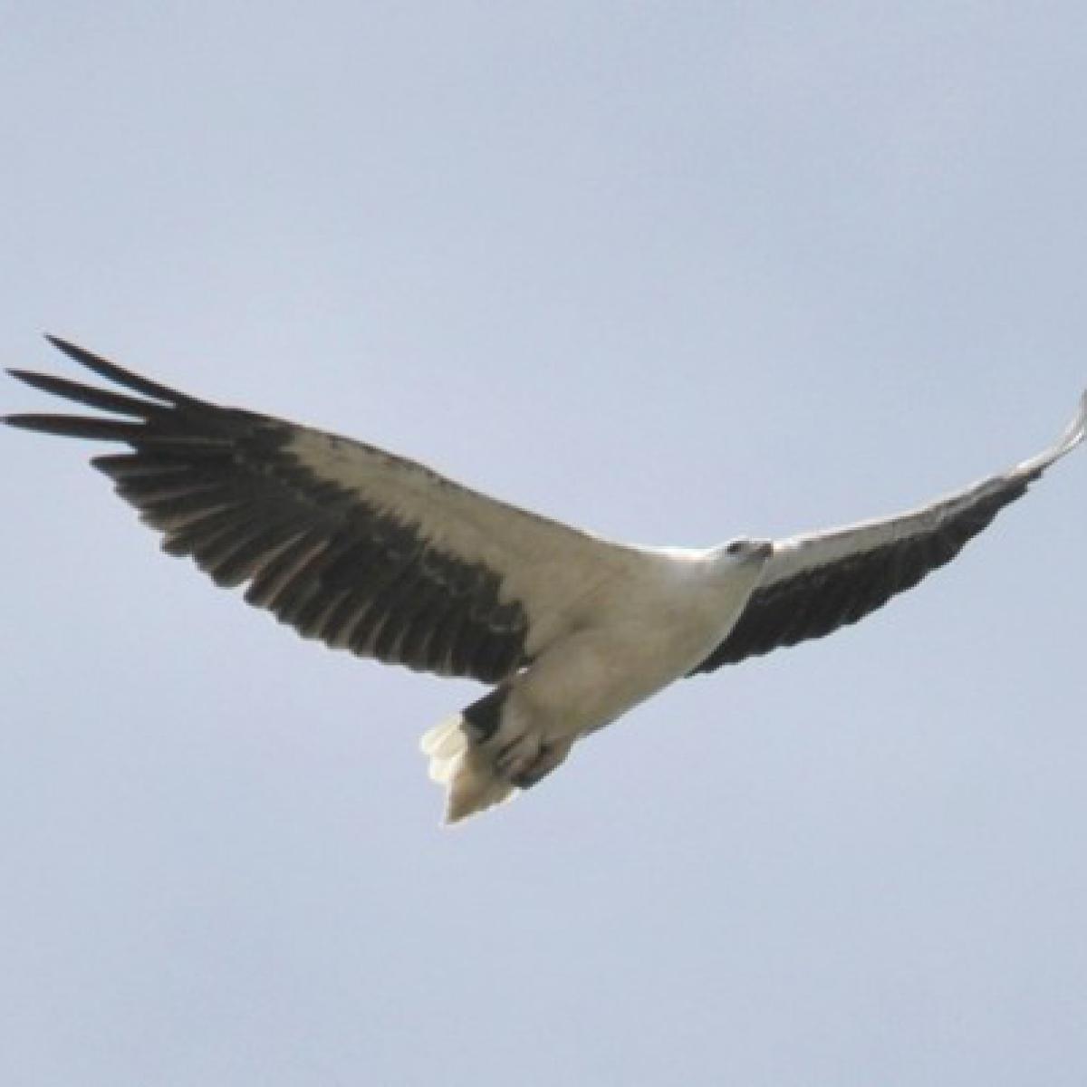 321 White-bellied Sea-Eagle