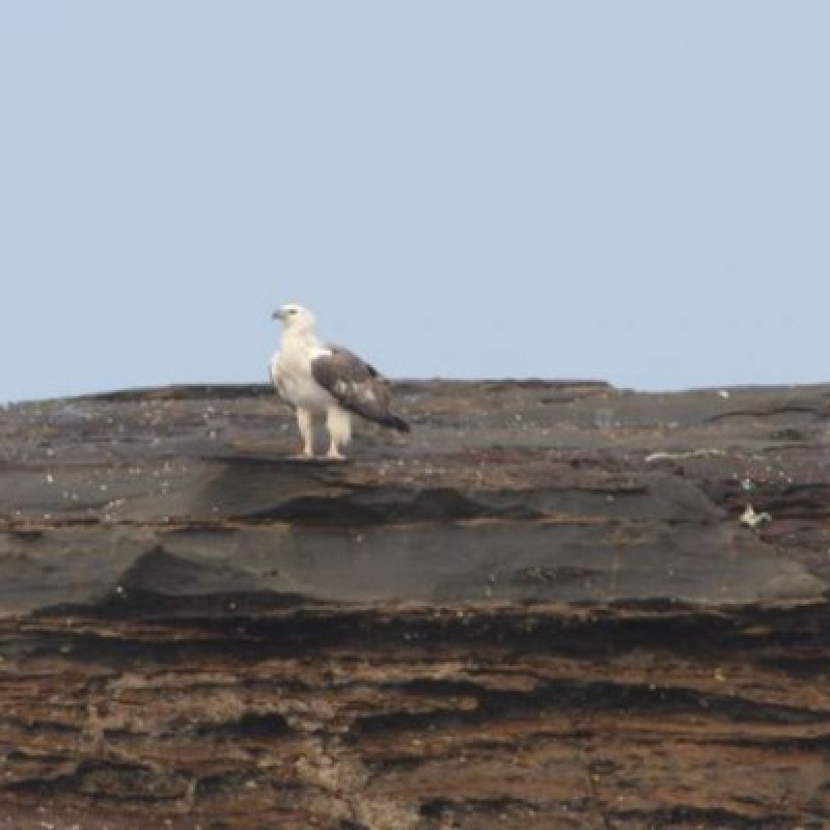 321 White-bellied Sea Eagle