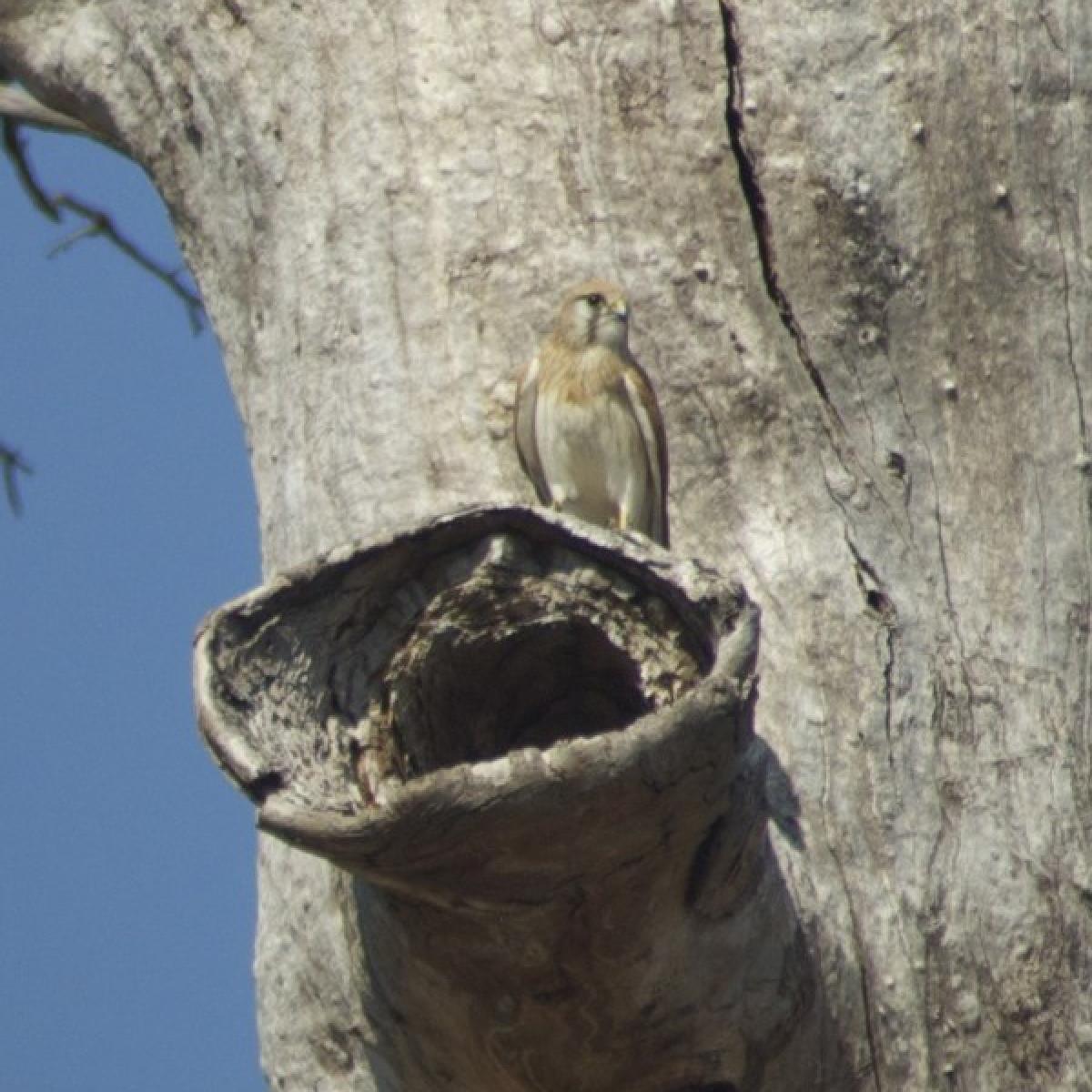 305 Australian Kestrel