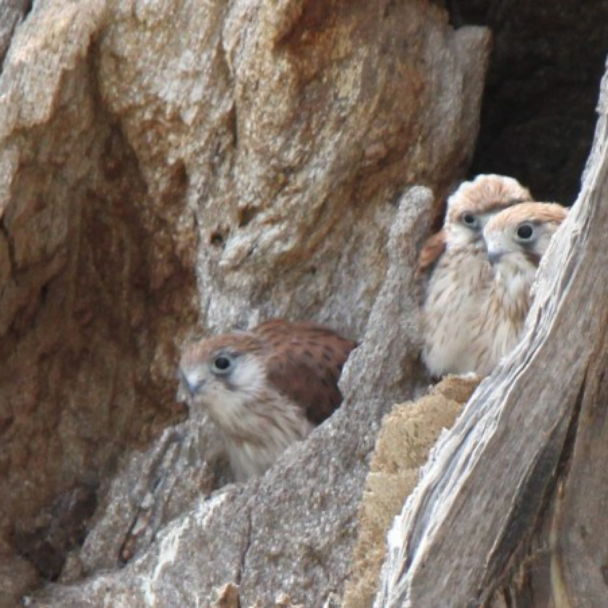 305 A Family of Kestrels