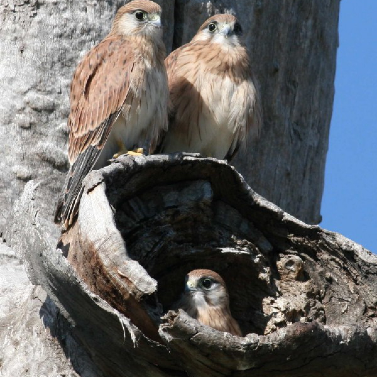 305 Kestrel Family