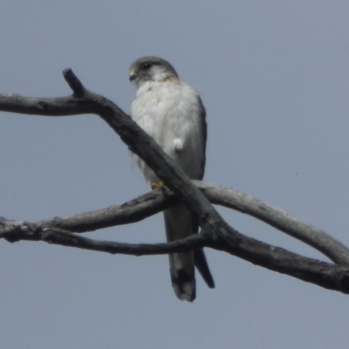 283 Grey Goshawk