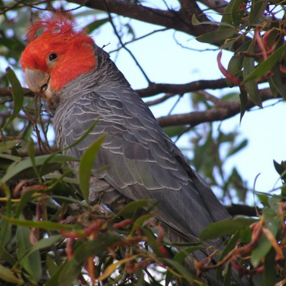442 Gang-gang Cockatoo (male)