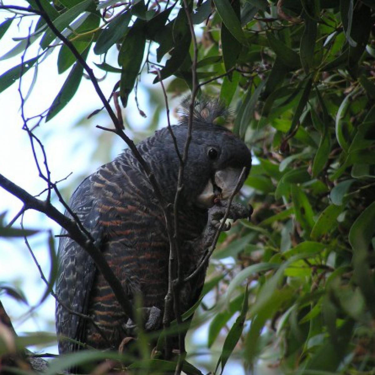 442 Gang-gang Cockatoo (female)