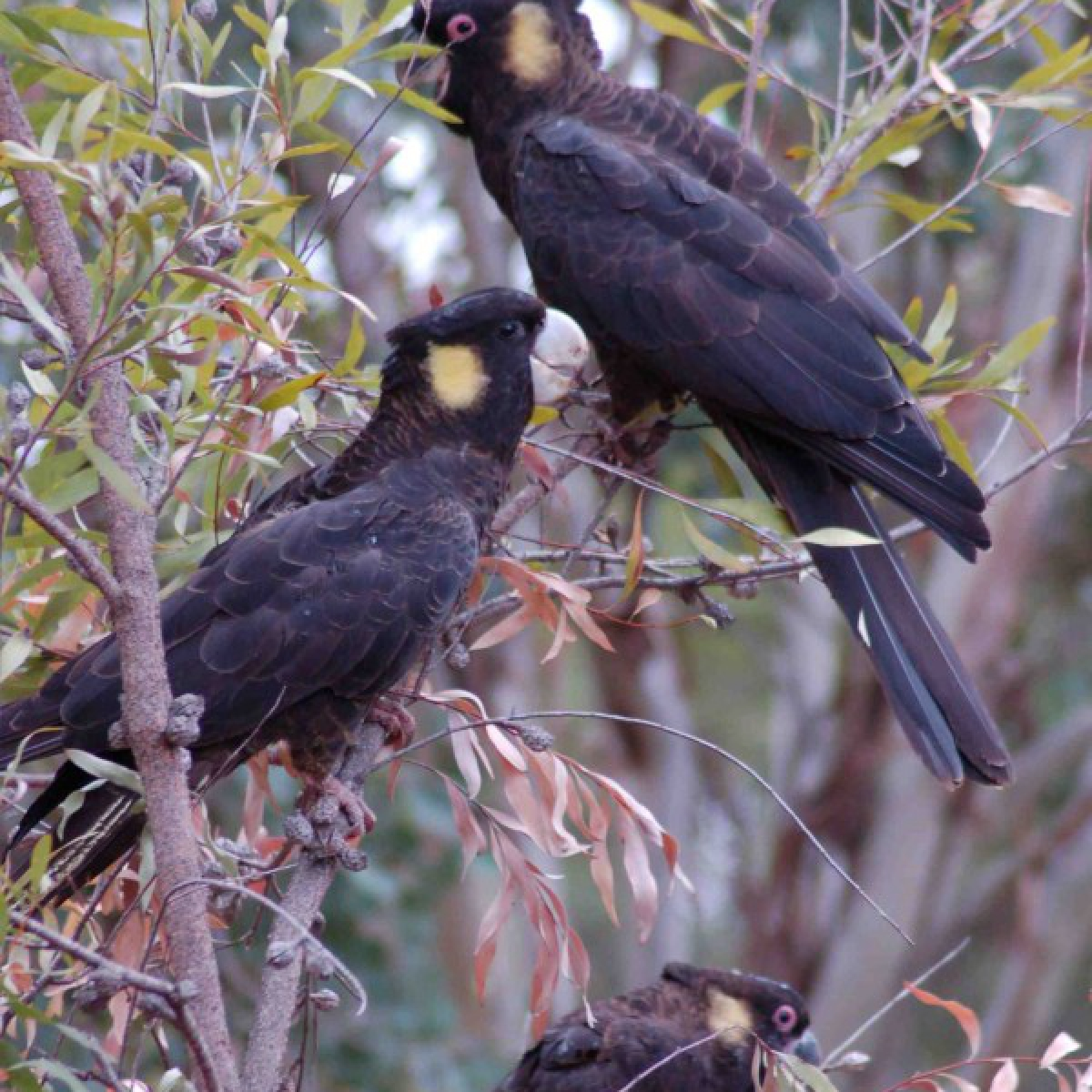 441 Yellow-tailed Black-Cockatoo