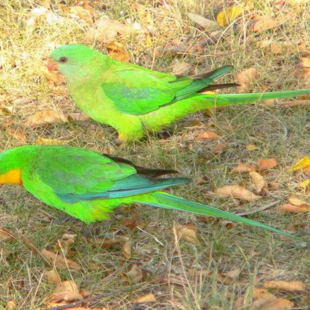 445 Superb Parrot